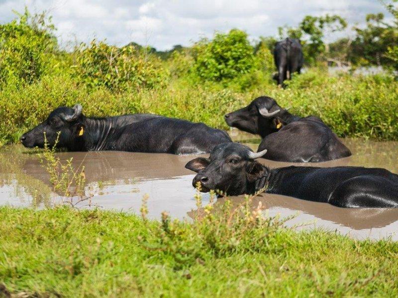 Búfalo Selvagem - Ilha de Marajó