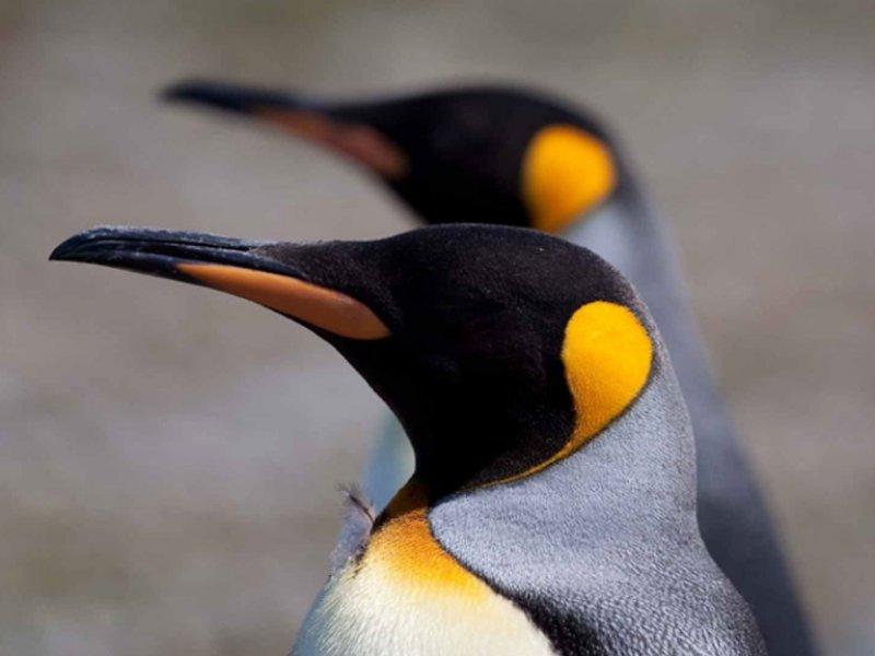 Antartica - Pinguins Rey