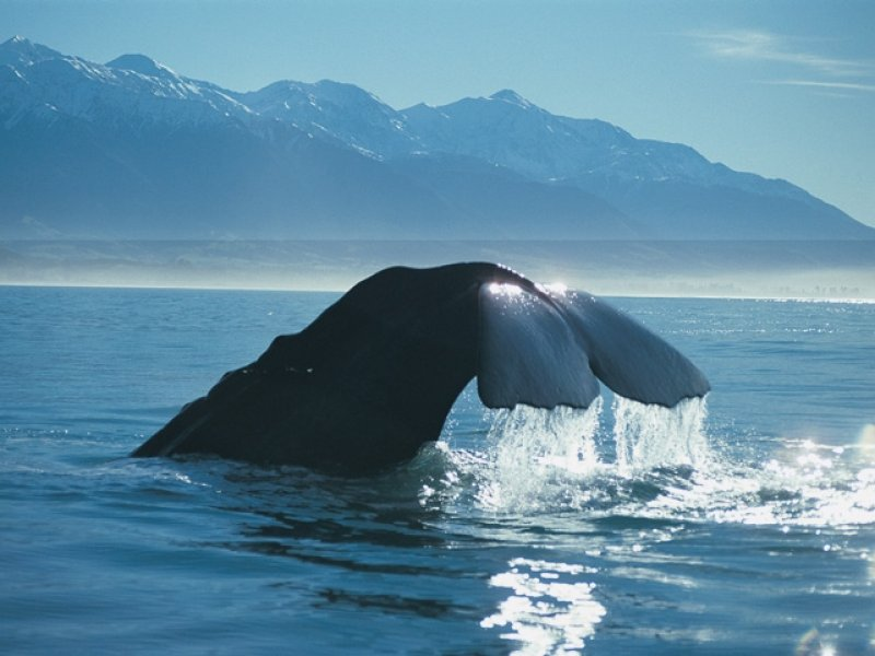 Sperm Whale - Whale Watch