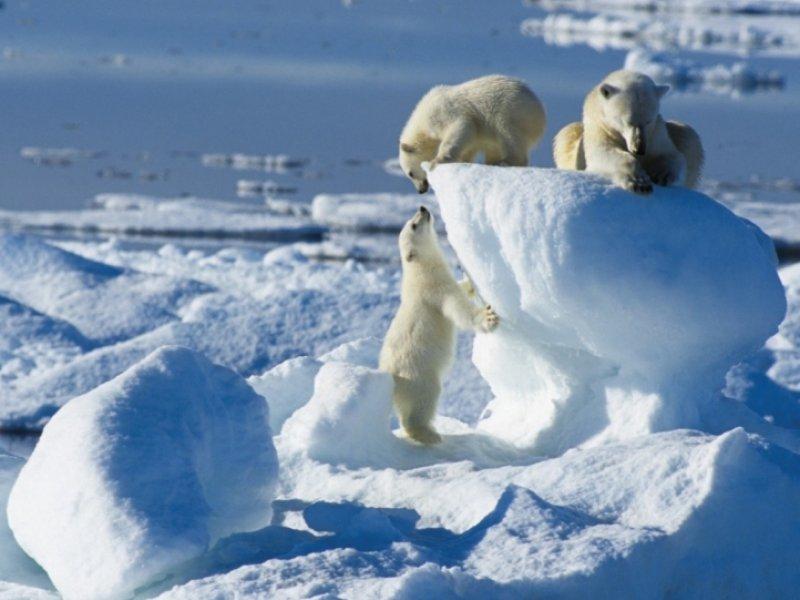 Urso Polar Artico