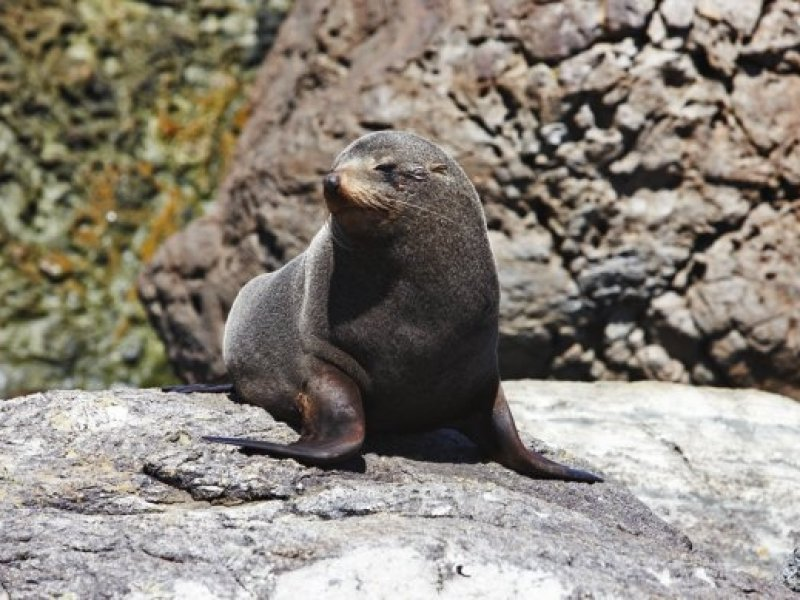 Fur Seal at Long Reef
