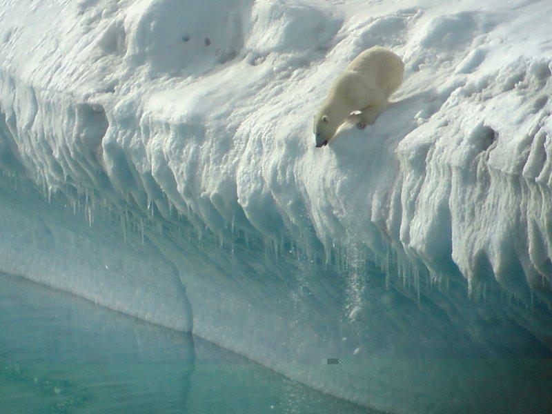 Urso Polar na Groenlândia