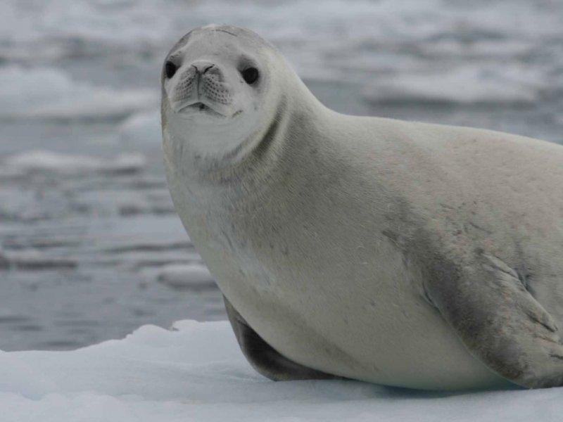 Antartica - Foca de Wedell
