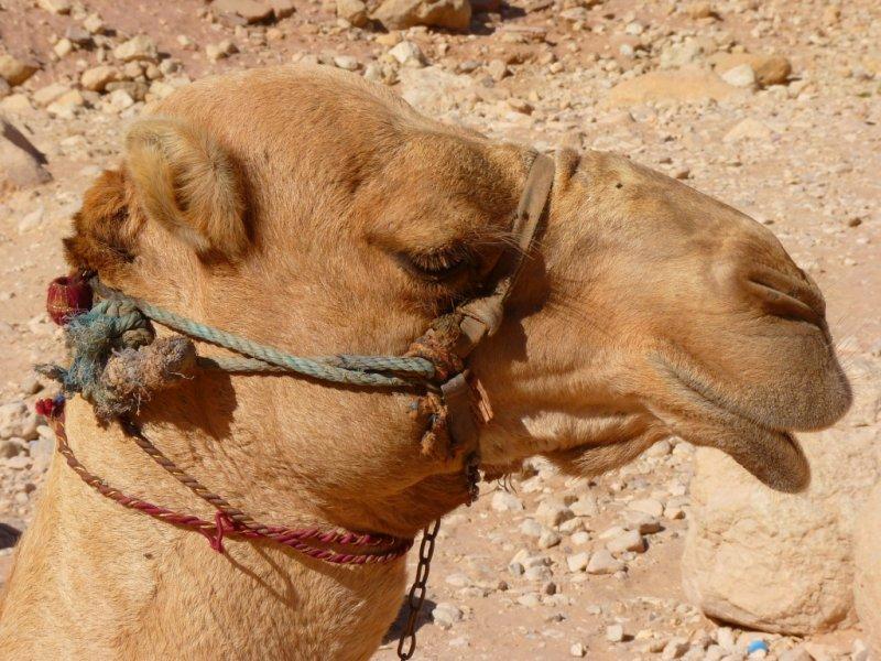 Camelo em Petra