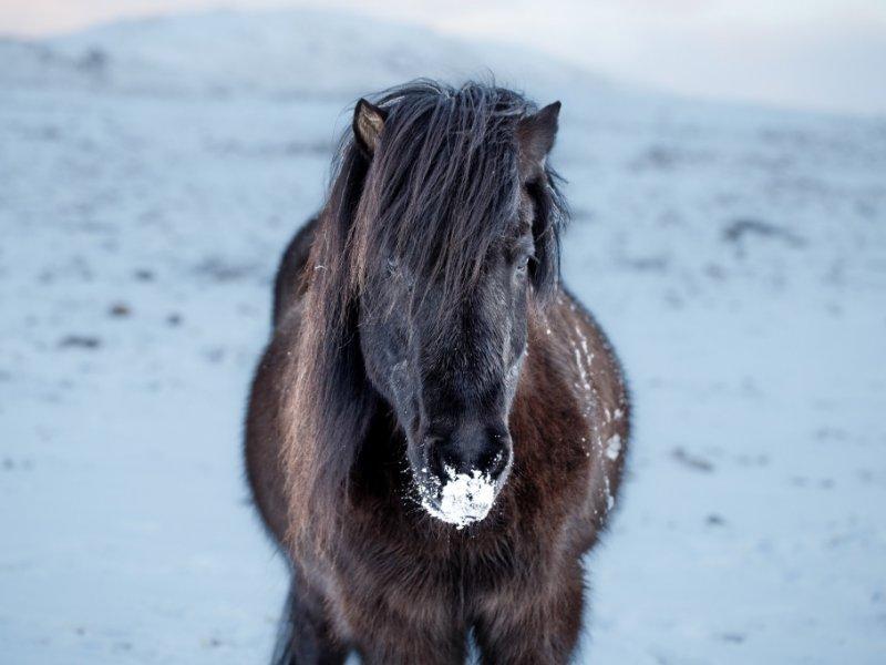 Cavalo islândes