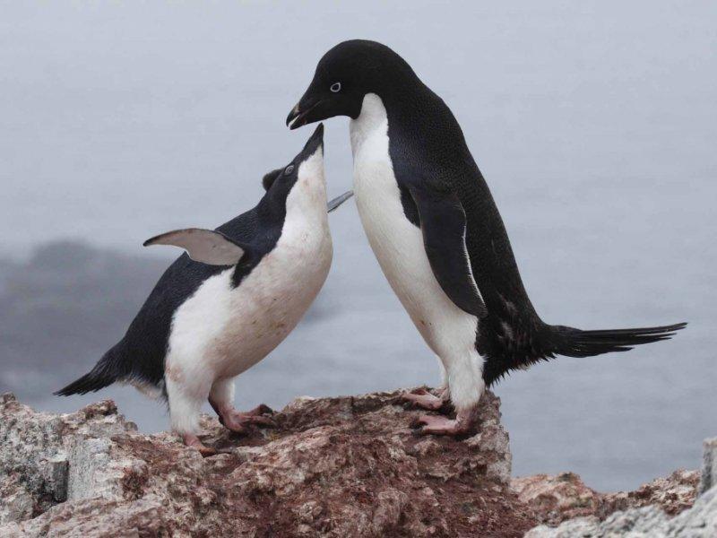Antartica - Pinguins