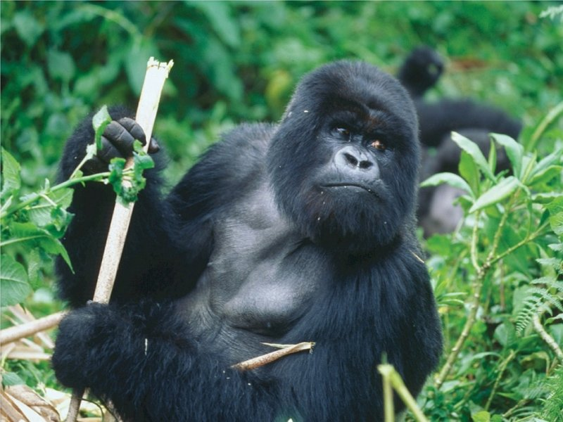 Trekking dos Gorilas