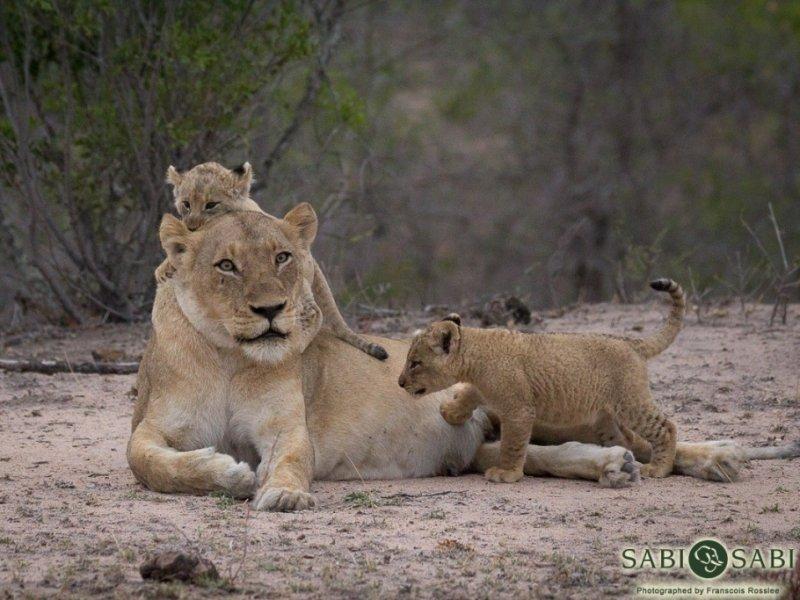 Dia de Safari em Sabi Sabi