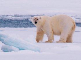 Cruzeiro na Noruega - Safari de Urso Polar