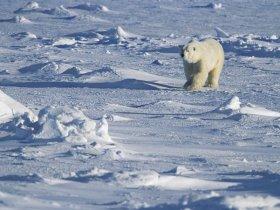 Canadá - Observação de Ursos Polares e Aurora Boreal em Churchill
