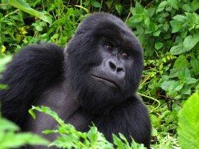 Ruanda - Trekking na Montanha dos Gorilas